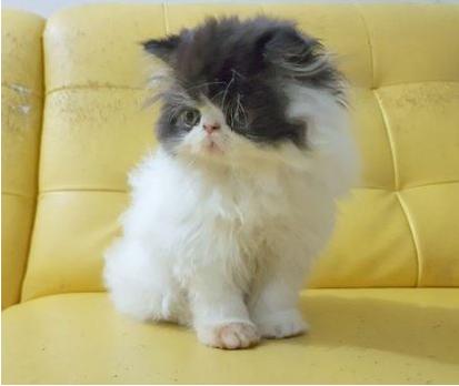 Jenis-Kucing-Persia-dan-Cara-Mudah-Merawatnya