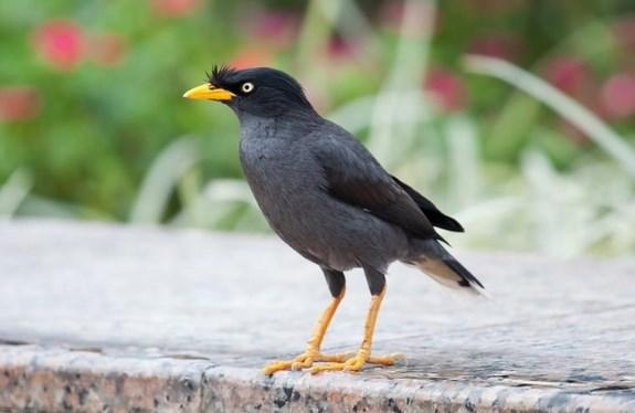 Burung-Jalak-Hitam-Memiliki-Suara-Yang-Unik